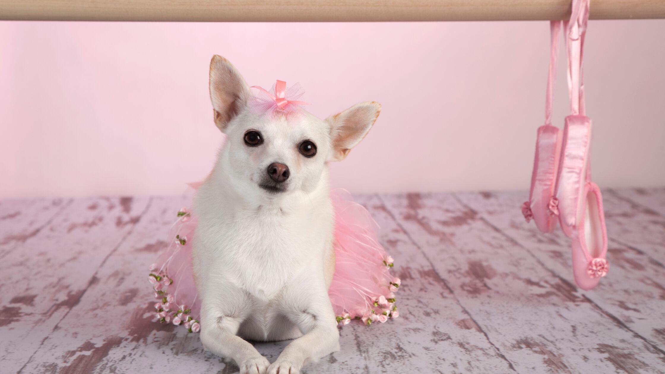 Chihuahua im rosafarbenen Tutu mit Schleifchen auf dem Kopf