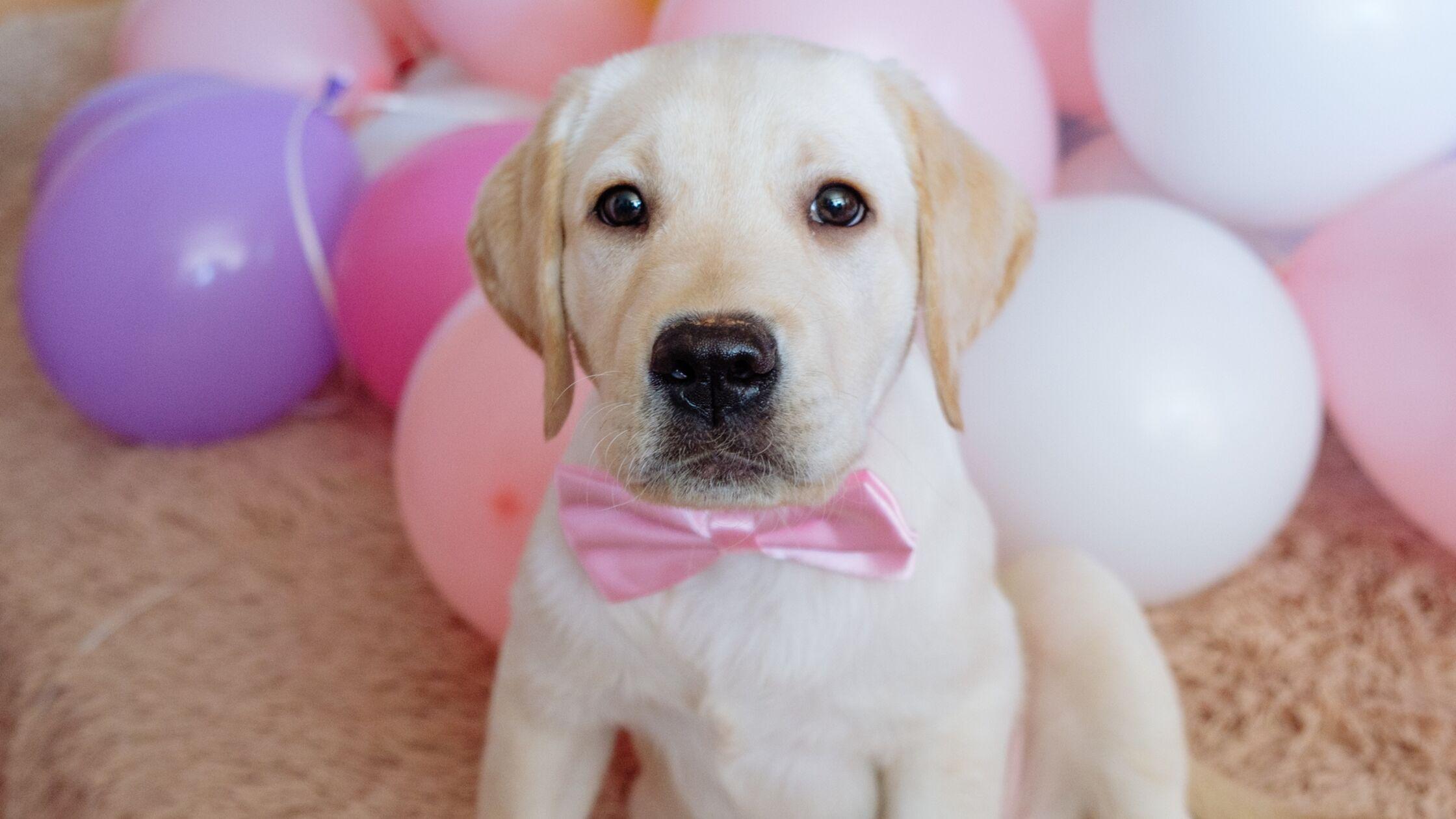 Süßer Labradorwelpe mit rosa Fliege sitzt vor einem Haufen bunter Luftballons