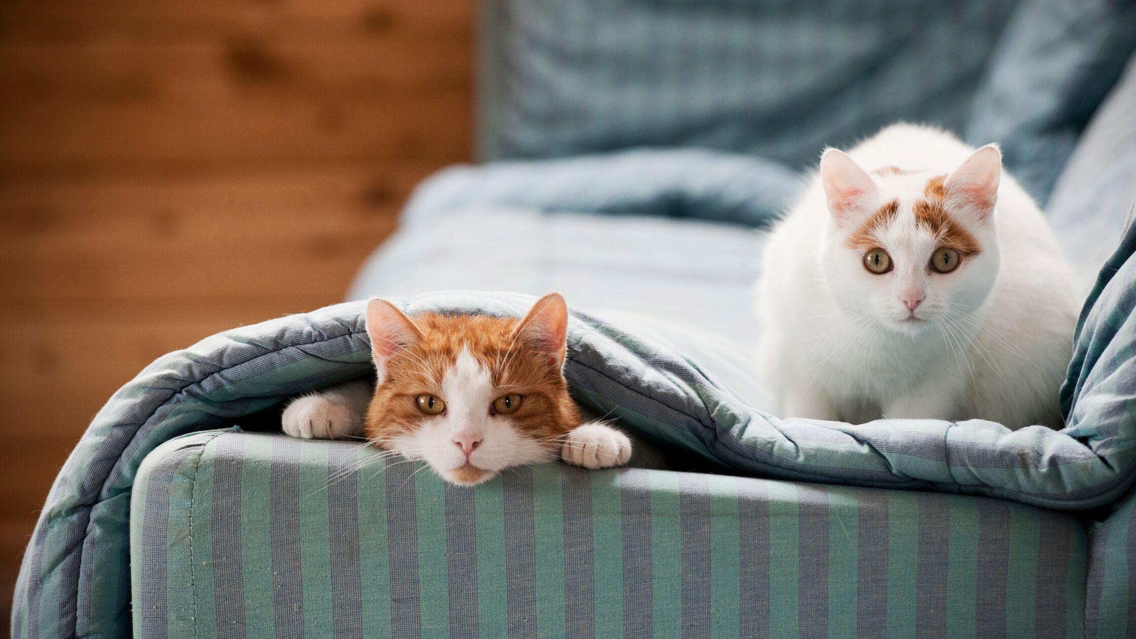 Zwei Katzen sitzen auf einem Sofa