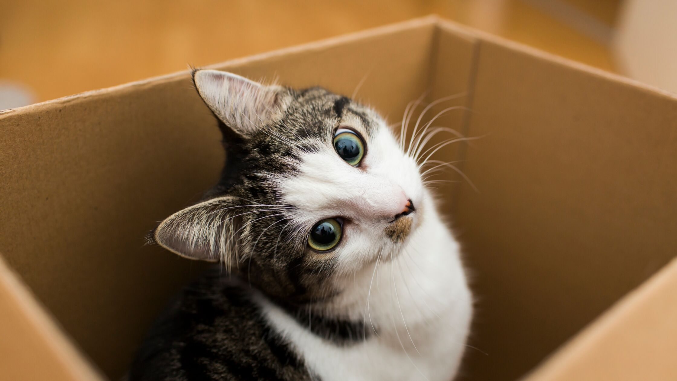 Katze sitzt in einem Karton