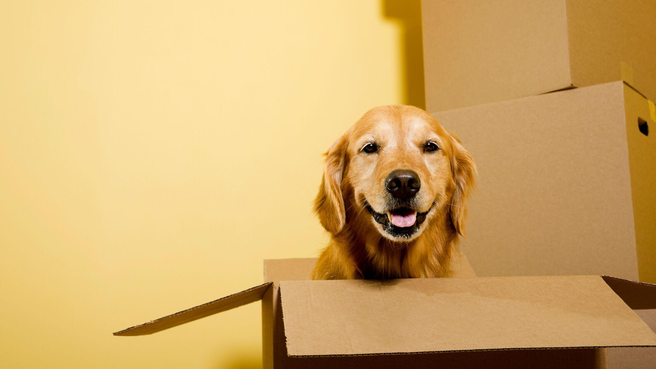 Hund in Umzugskarton