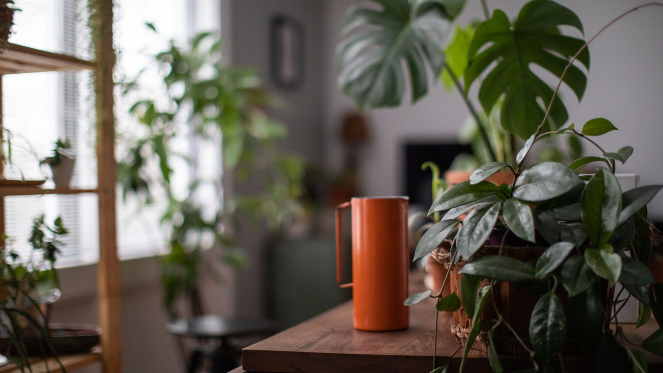 Dunkle Räume im neuen Heim: Diese Zimmerpflanzen kommen mit wenig Licht aus