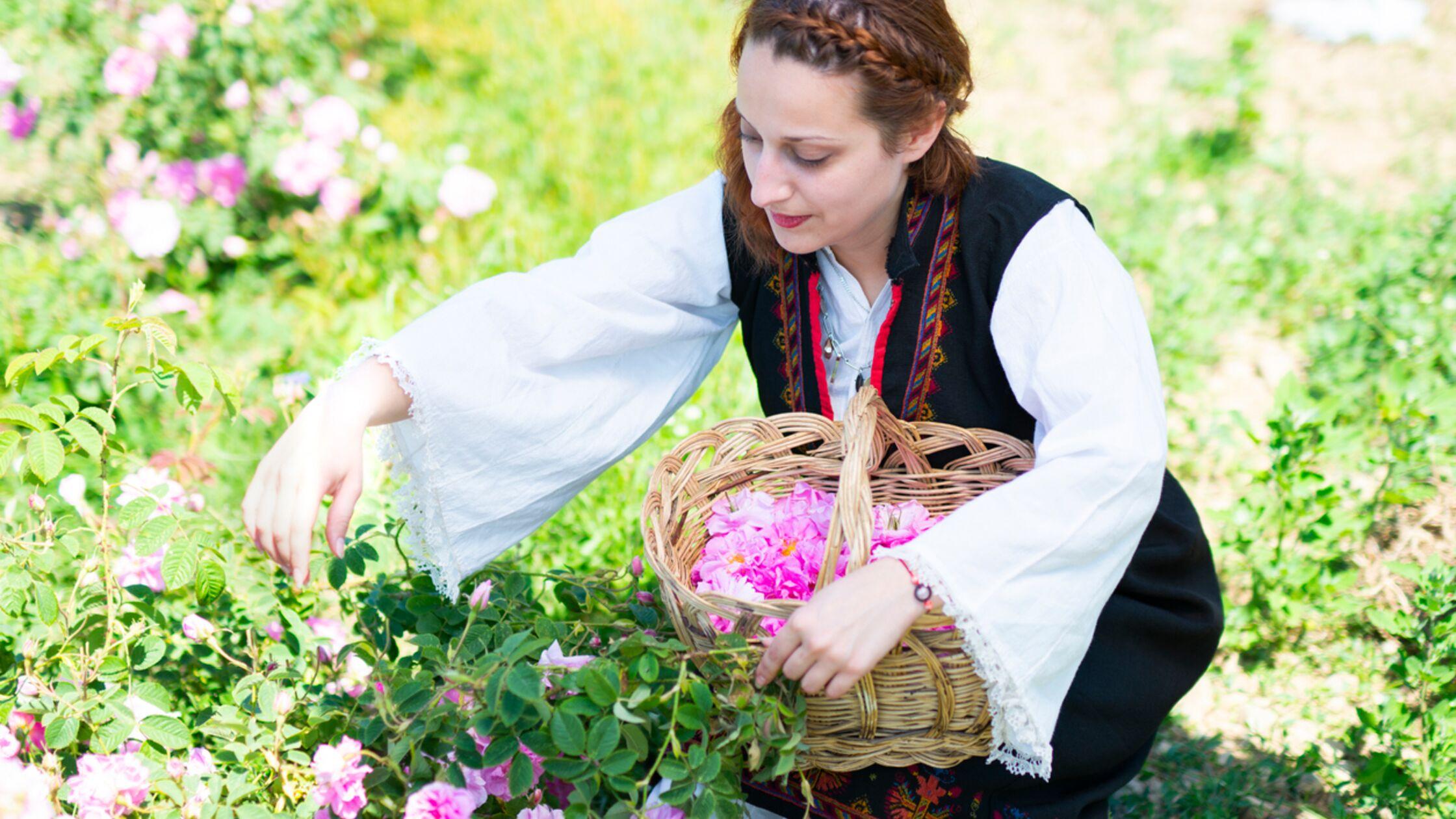 Frau in bulgarischer Tracht erntet Rosen