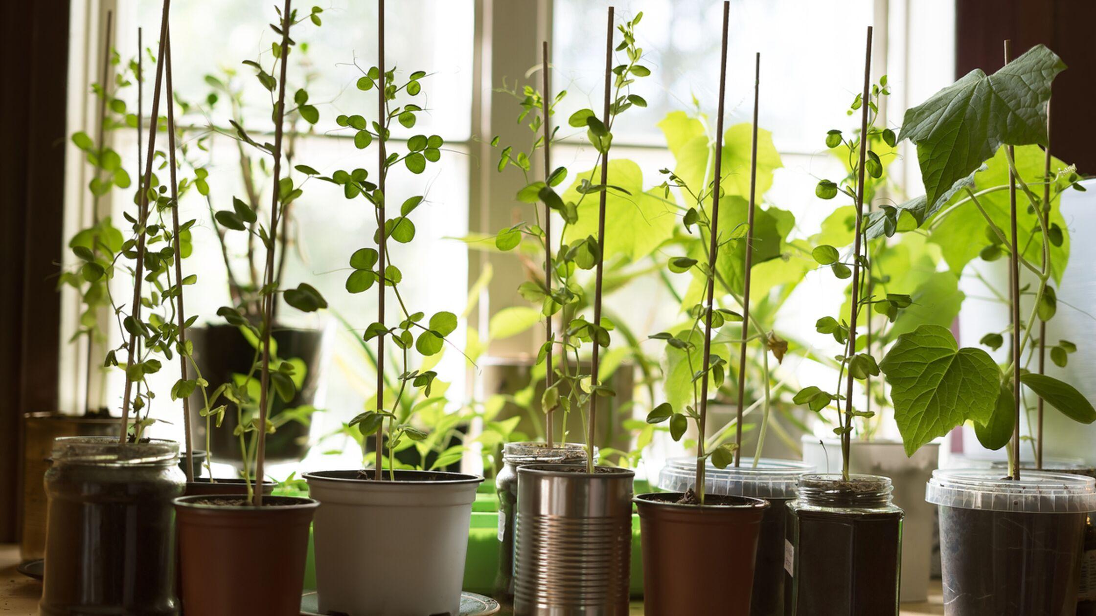 Gemüsepflanzen auf der Fensterbank