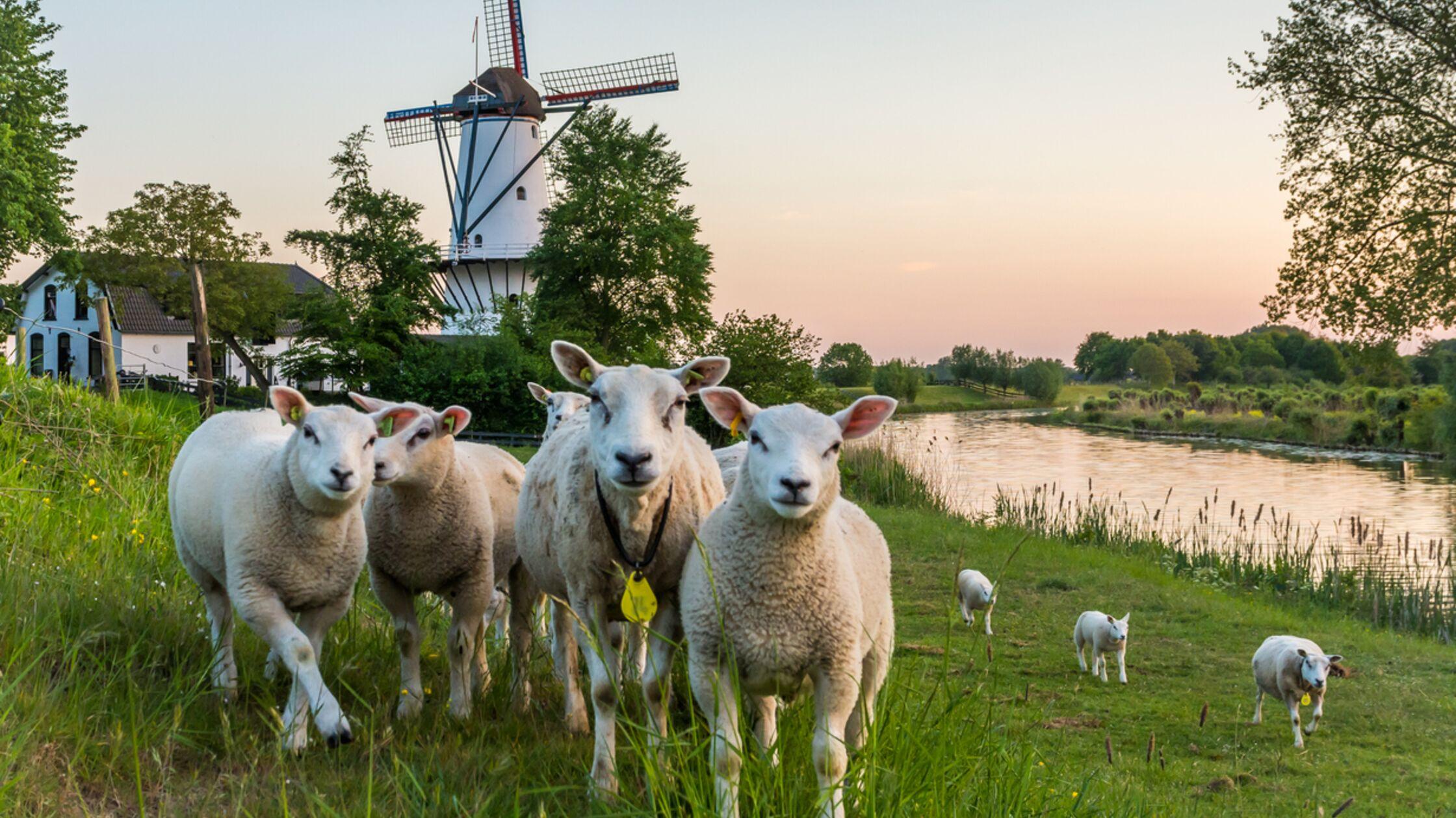 Schafe auf einem Deich vor einer Windmühle
