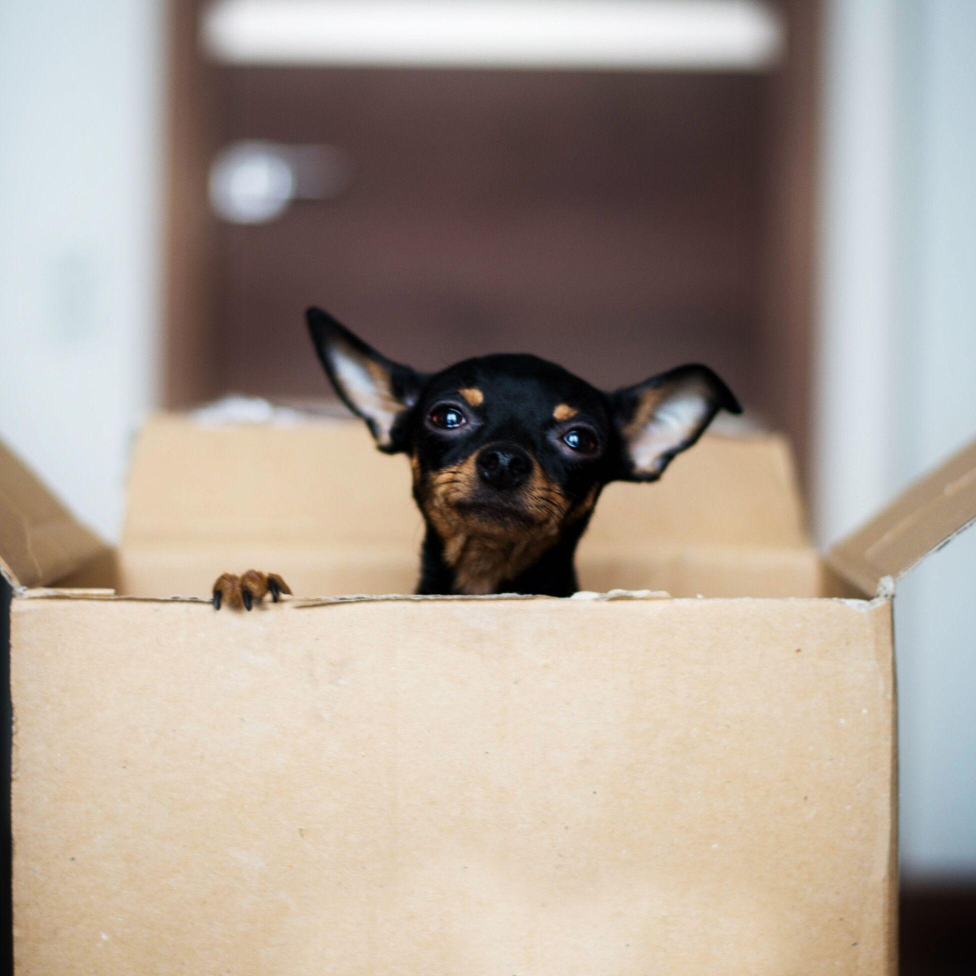 Hund guckt frech aus einem Umzugskarton