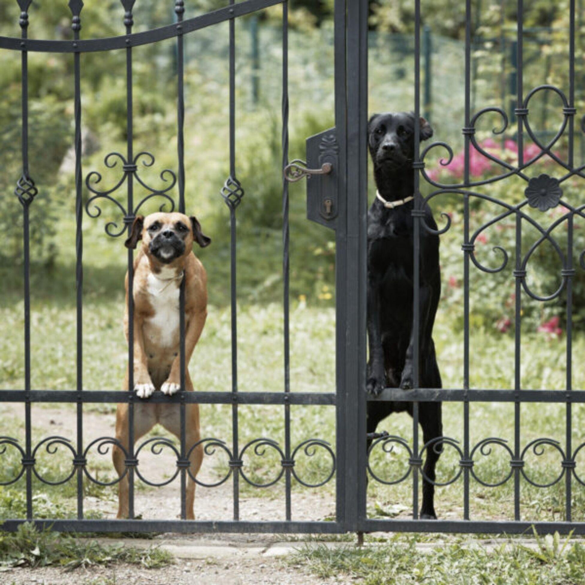Zwei aufmerksame Wachhunde hinter einem hohen Eisengitter