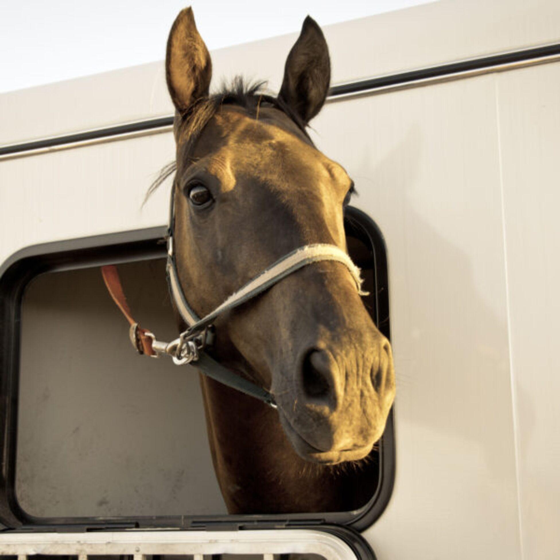 Pferd im Anhänger