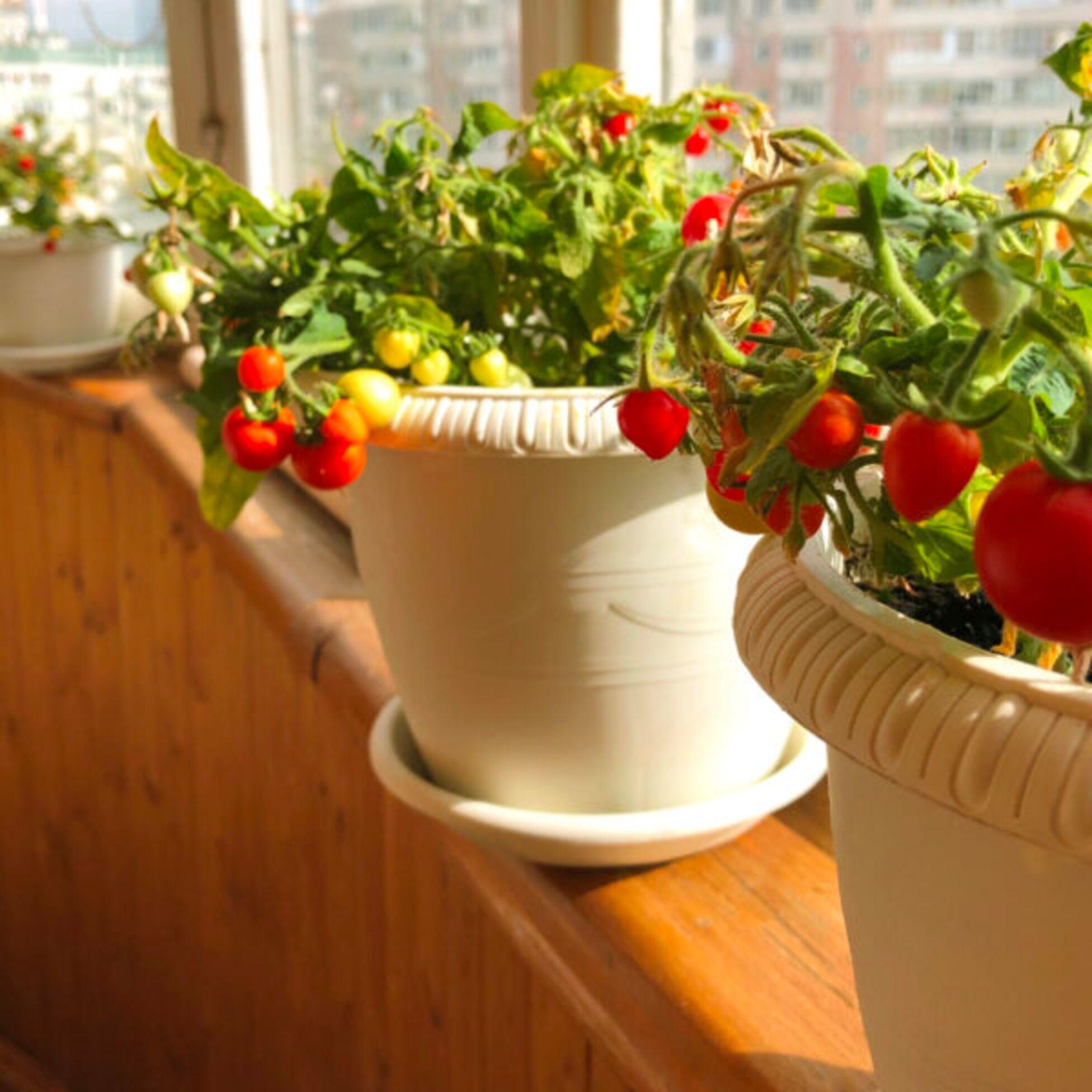 Tomatenpflanzen auf der Fensterbank