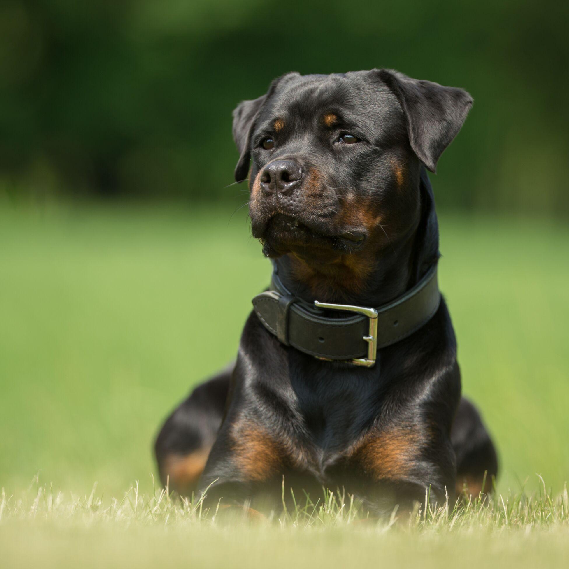 Kampfhund halten: Rasselisten und Steuern